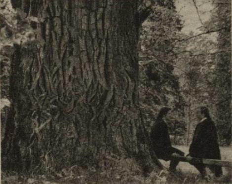 Simtgadējs milzīgā apmēra ozols Dundagas pils parkā , kas iespiests Latvijas pirmajā lielākajā naudas zīmē.